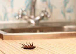 blatta in seguito a un servizio di disinfestazione blatte e scarafaggi per privati
