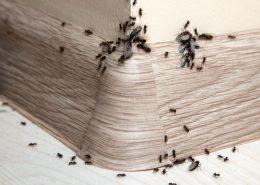 situazione in cui è necessaria una disinfestazione formiche per privati