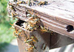 disinfestazione vespe per enti pubblici