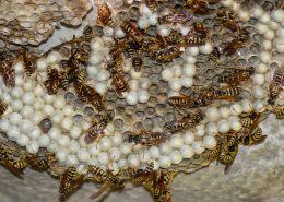 disinfestazione vespe per aziende